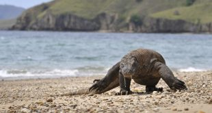 Indonesia eyes komodo dragon island closure to thwart smuggling