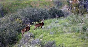 Cyprus's emblematic wild sheep lock horns with mountain farmers