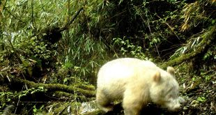 Rare albino panda caught on camera in China: state media