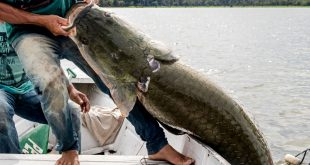 The pirarucu: the giant prized fish of the Amazon
