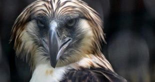 The eagles have landed: Singapore shows off rare Philippine raptors
