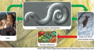 Hawaii reports first case of rat lungworm disease in 2020